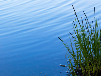 Ripples on water near reeds
